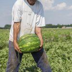 Megkezdődött a görögdinnyeszezon