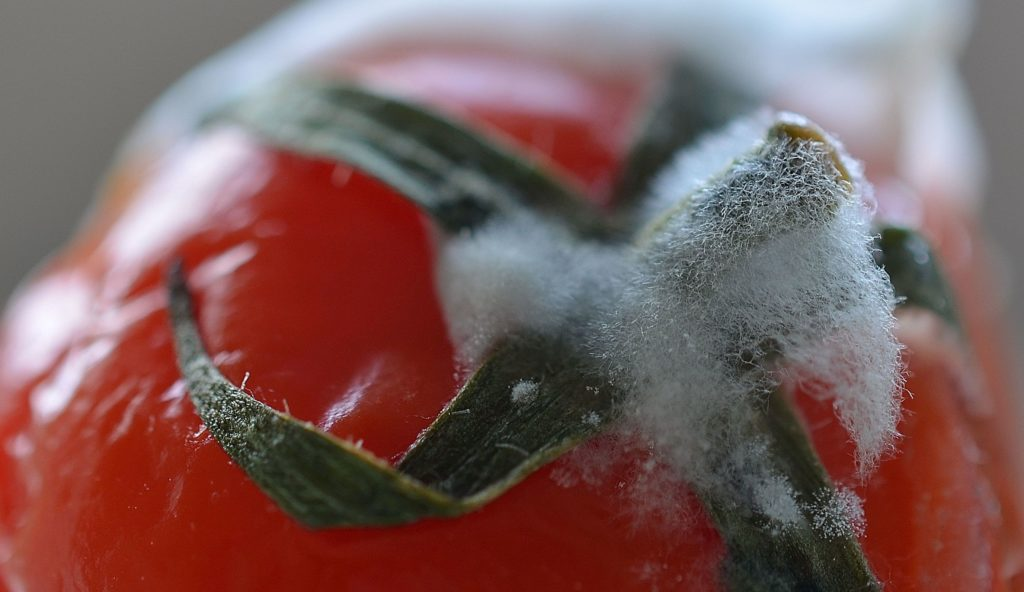close-up-of-mould-on-tomato-stalk