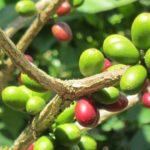 Kávétermesztés