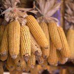 10 dolog… amit a kukoricáról tudni kell