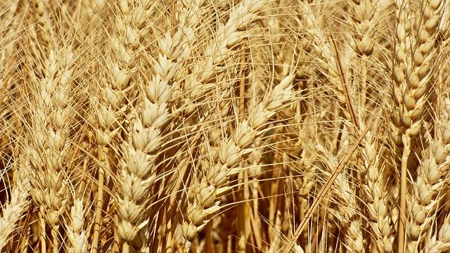 wheat-2455565_640