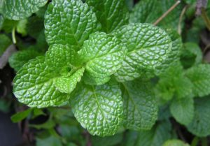 herb-2540565_640