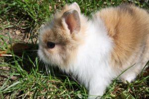 dwarf-rabbit-270005_960_720