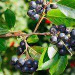 Fekete berkenye: a legfeketébb gyümölcs